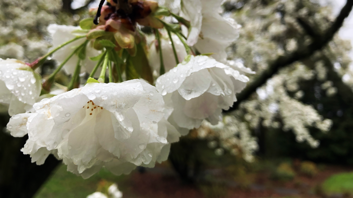 Blossoms adorned with raindrops, seen on the campus of Reed College in Portland, Oregon. (Photo: Ben Young Landis)